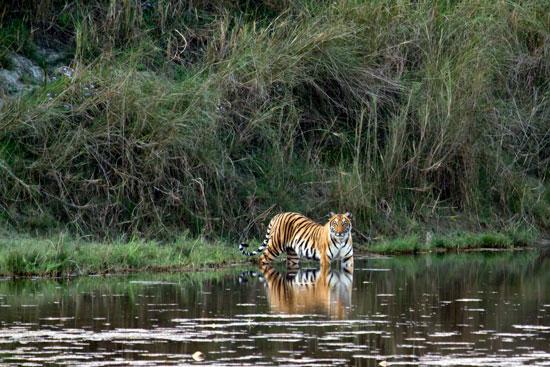 Ontdek de Bengaalse tijger tijdens je rondreis door Nepal
